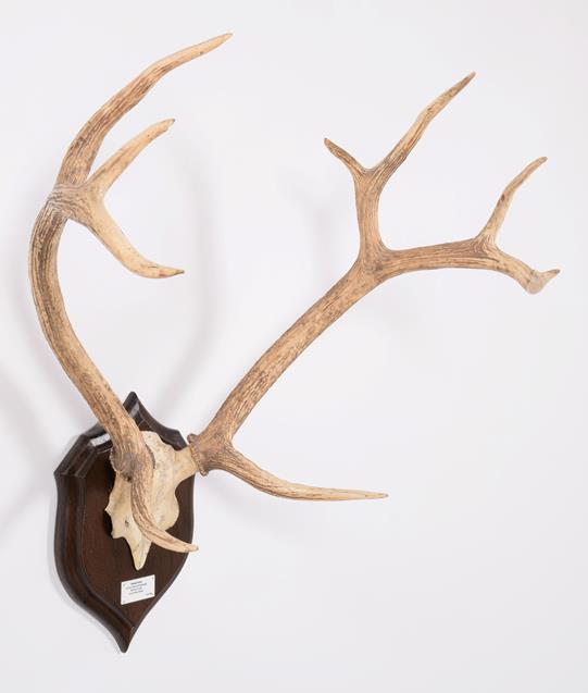 Antlers/Horns: Swamp Deer or Barasingha (Rucervus duvaucelii duvaucelii), South West Nepal, Northern - Image 2 of 4