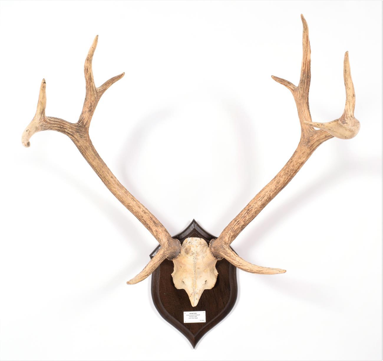 Antlers/Horns: Swamp Deer or Barasingha (Rucervus duvaucelii duvaucelii), South West Nepal, Northern