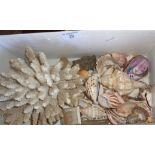 Miscellaneous tropical shells