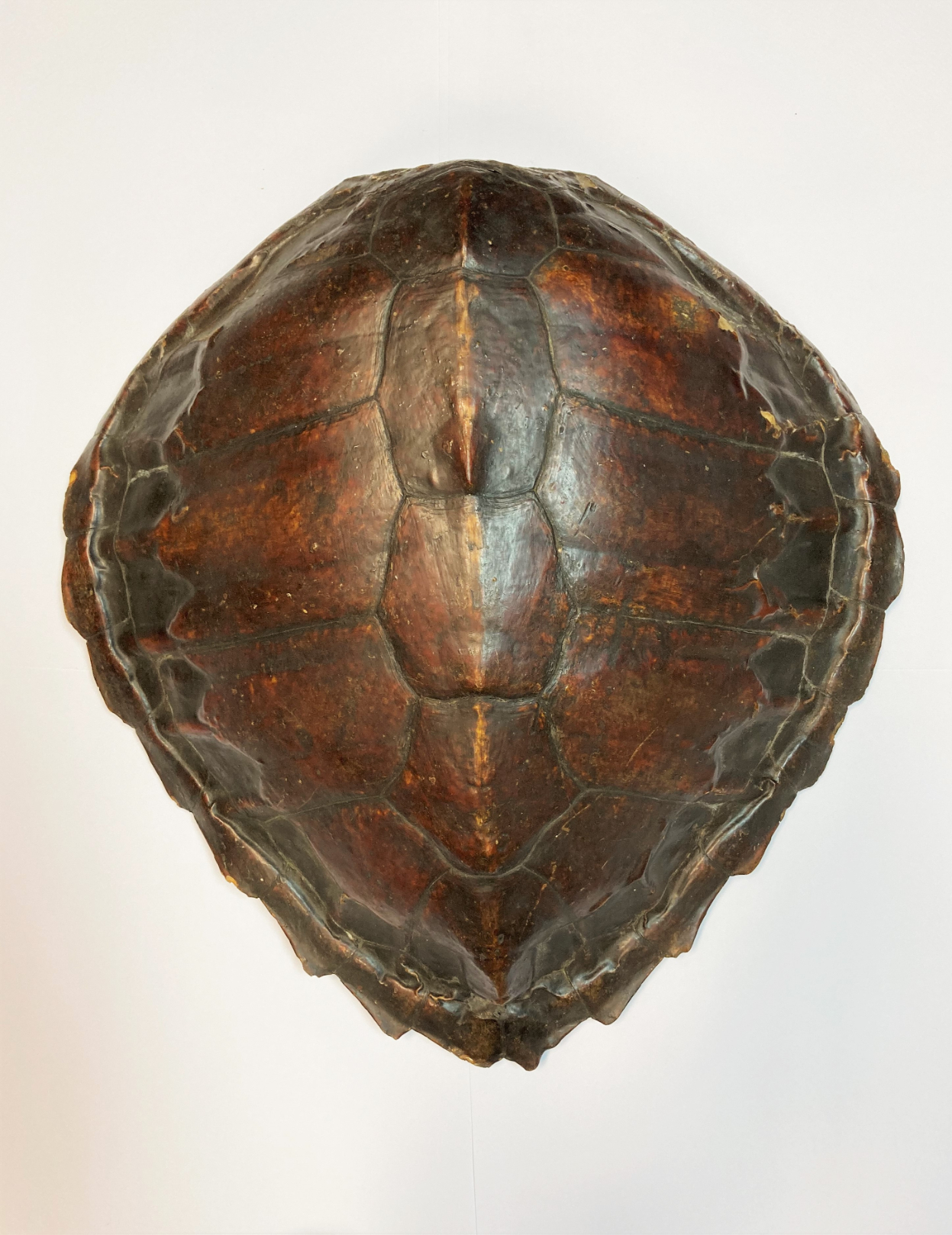 ˜Ⓦ A TURTLE UPPER SHELL^ PROBABLY CHELONIA MYDAS LATE 19TH CENTURY