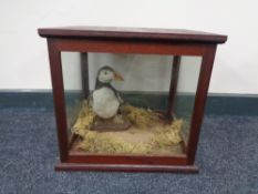 An antique wooden display case containing a taxidermy puffin