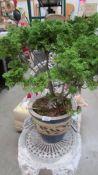 A garden plant in pot.