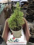 A ceramic pot with tree.