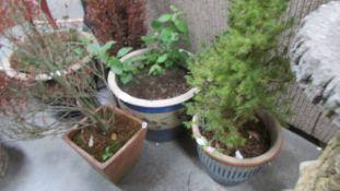 Five plant pots with plants.