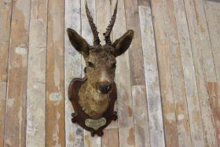 Taxidermy deer's head