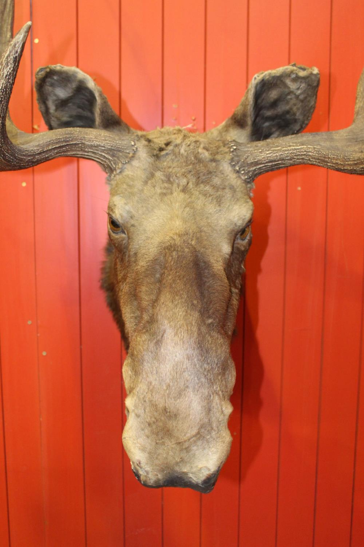Taxidermy Moose head - Image 2 of 2