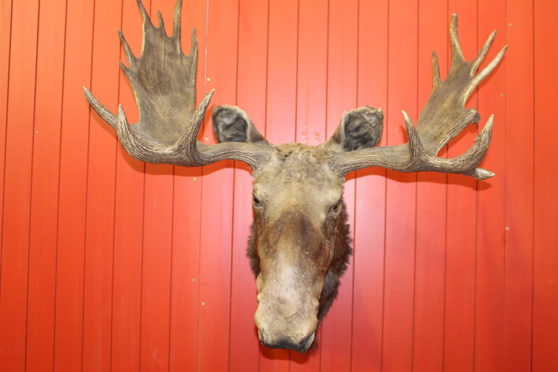 Taxidermy Moose head