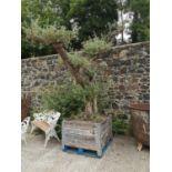 Rare 250 year old Bonsai tree.