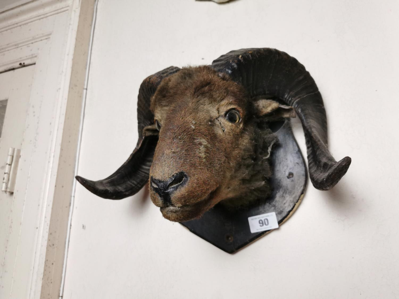 19th. C. taxidermy ram's head - Image 2 of 2