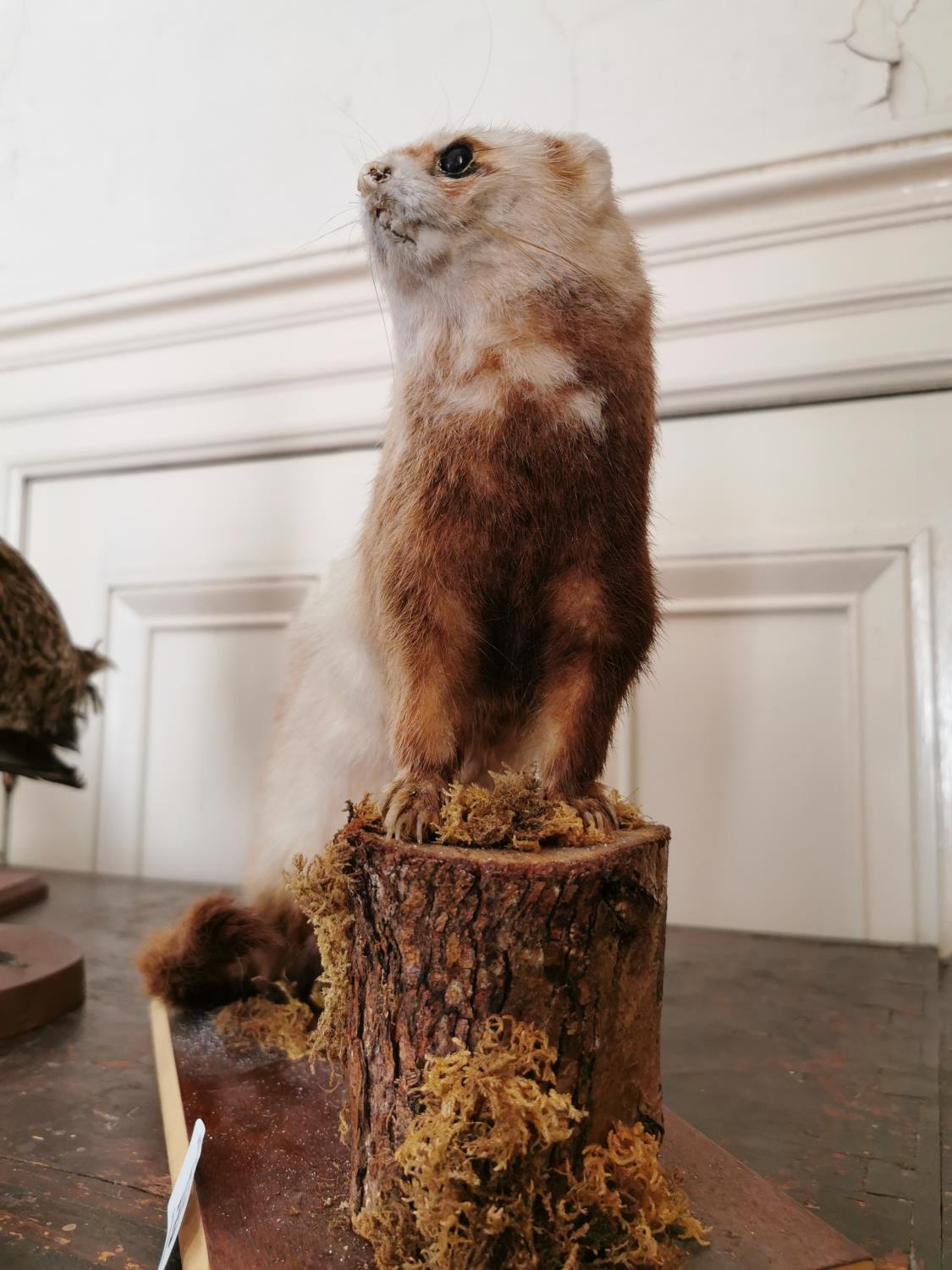Taxidermy stoat - Image 2 of 2