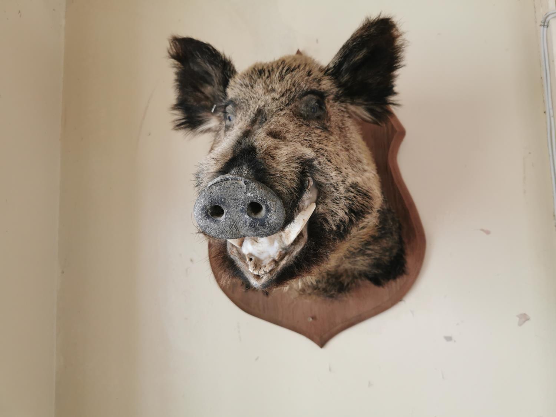 Taxidermy boar's head - Image 2 of 2