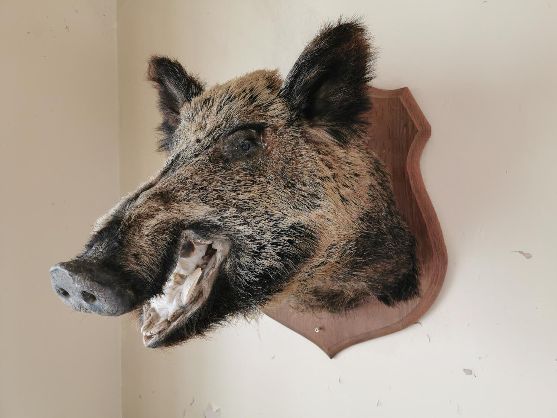 Taxidermy boar's head