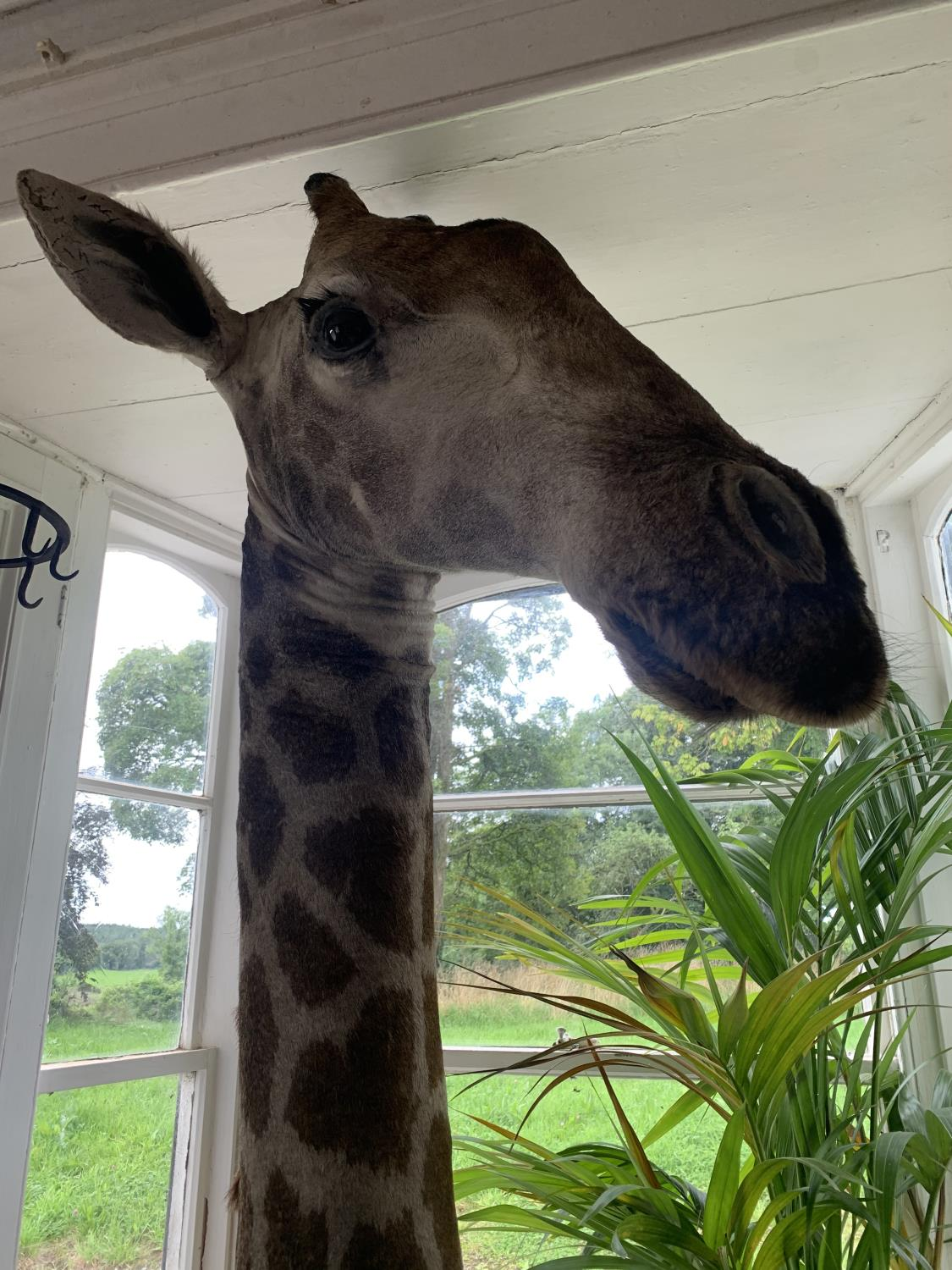 Shoulder and head taxidermy giraffe. - Image 2 of 5