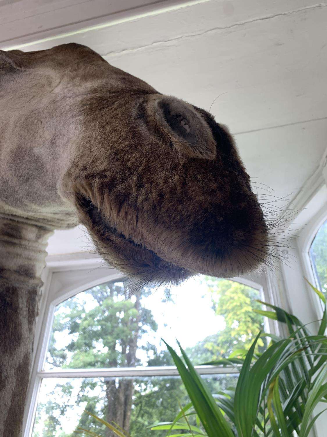Shoulder and head taxidermy giraffe. - Image 5 of 5
