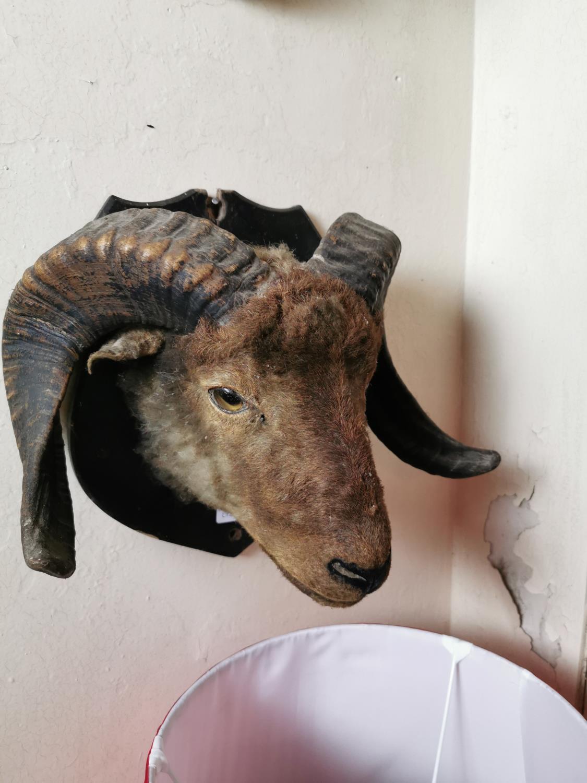 19th. C. taxidermy ram's head