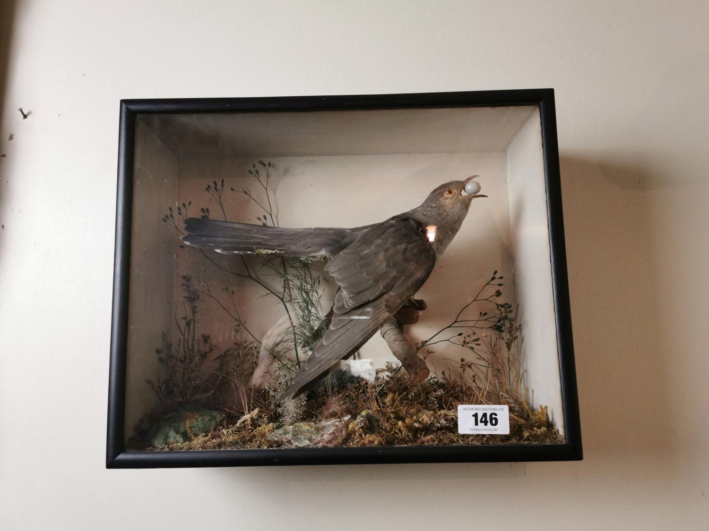 19th. C. taxidermy cuckoo