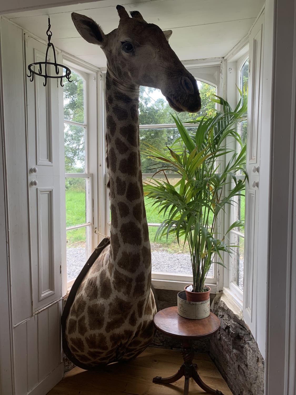 Shoulder and head taxidermy giraffe.