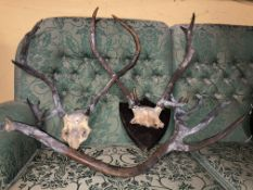 TWO SETS OF ANTLERS (ONE ON PLAQUE) AND ONE LARGE SINGLE ANTLER