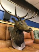 TAXIDERMIC STAGS HEAD MOUNTED ON A SHIELD PLAQUE (ANTLERS REDUCED) (75CM H X 43CM W = PLAQUE) (55CM