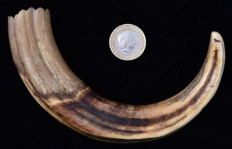 A 19th Century possibly Warthog or wild boar's tusk. Length approx 280mm. VGC, minor age wear. £50-