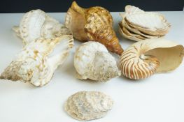 Collection of Eleven Seashells, largest 25cms long