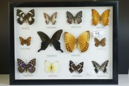 Set of Framed and Mounted Twelve Taxidermy Butterflies