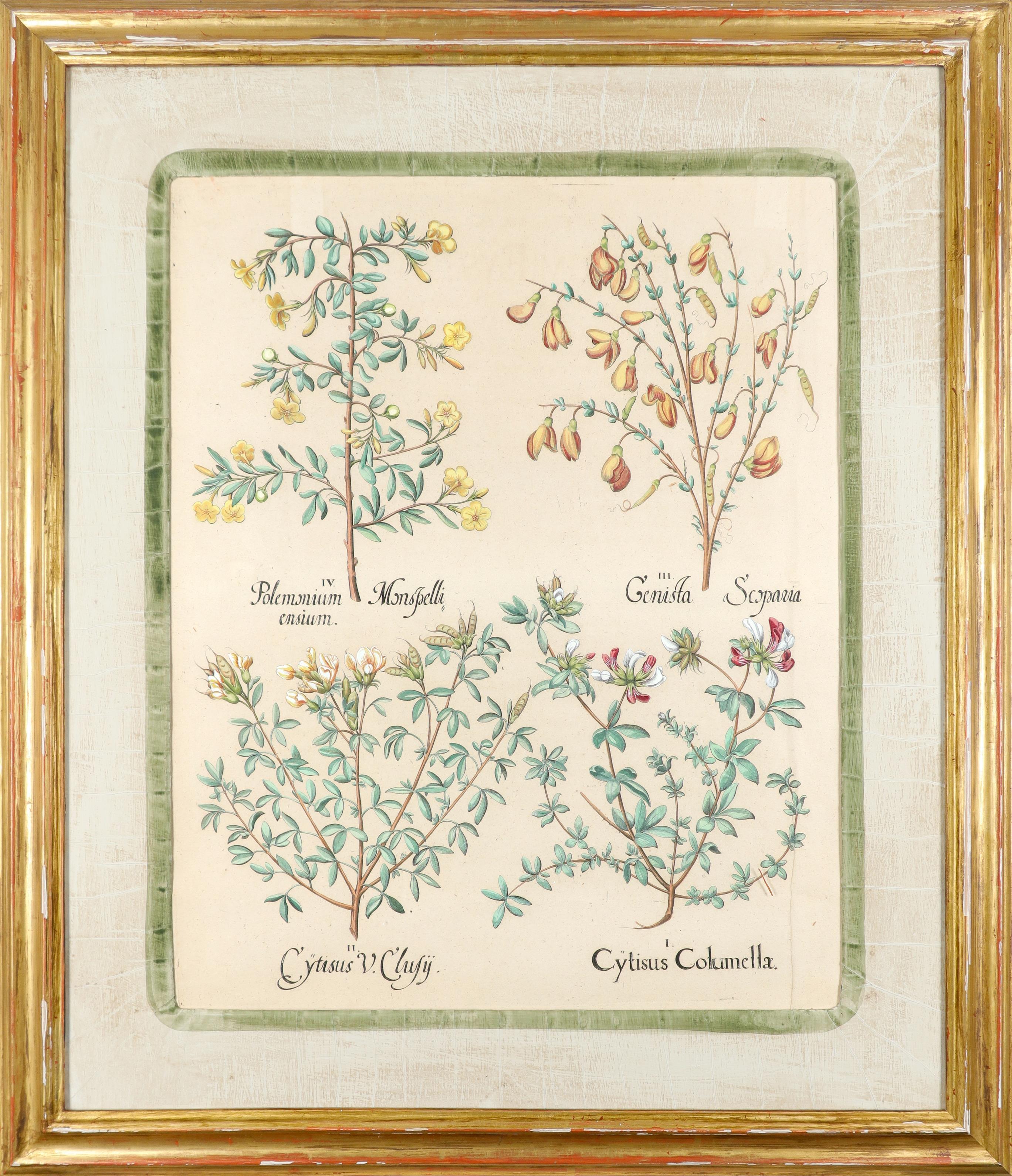 After Basilius Besler Poma flore multiplici; Aquilegia stellata flore vio laceo; Cytisus - Image 8 of 36