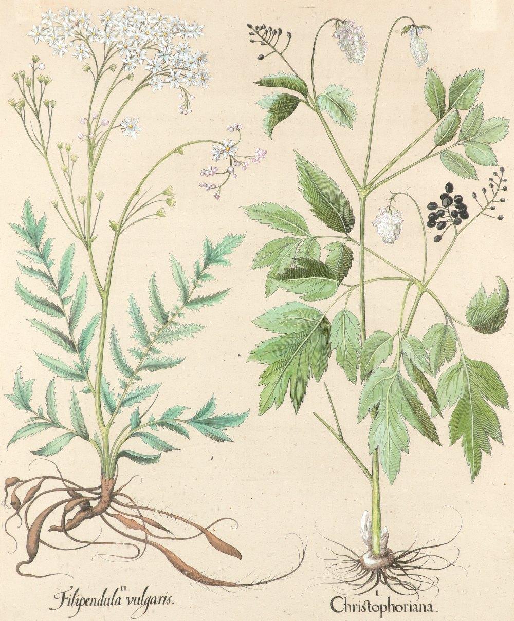 After Basilius Besler Poma flore multiplici; Aquilegia stellata flore vio laceo; Cytisus - Image 34 of 36