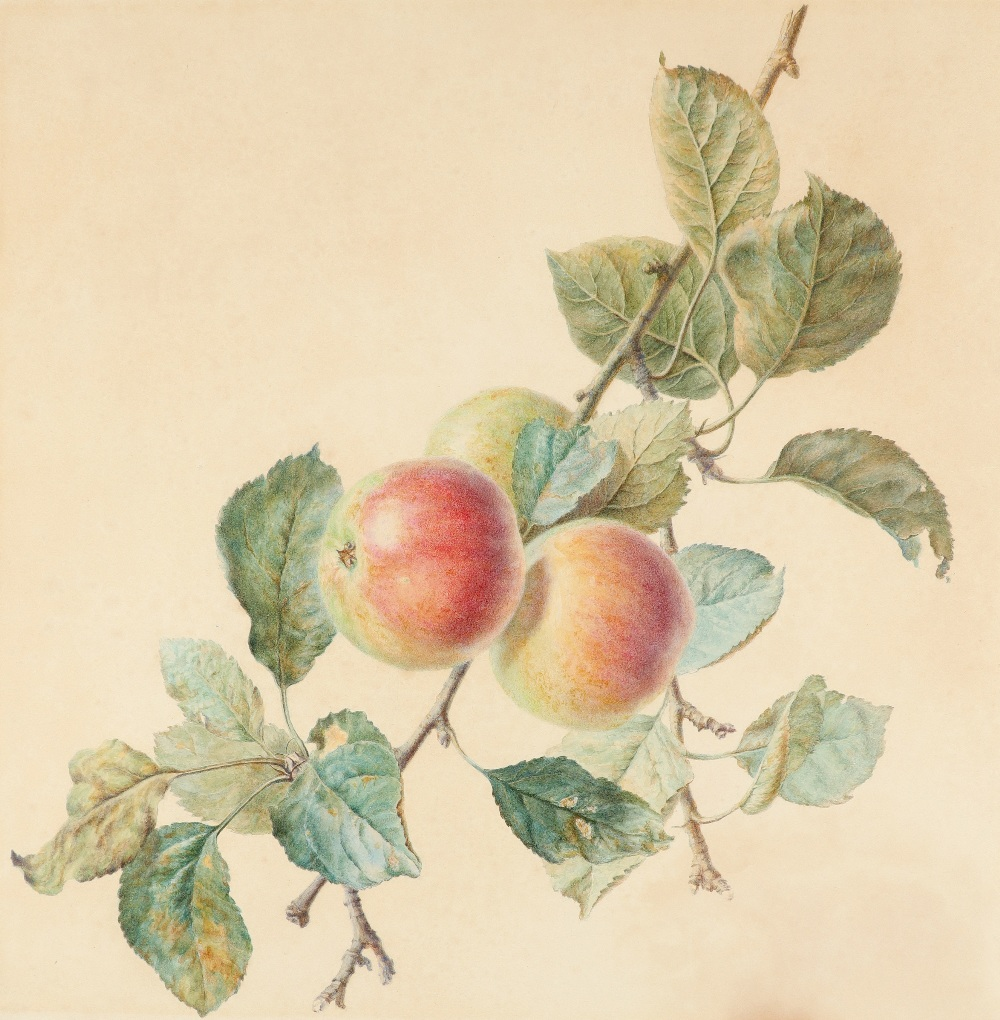 Attributed to James Sillett (1764-1840) Study of apples Watercolour 48 x 42.4cm; 19 x 17¾in Unframed