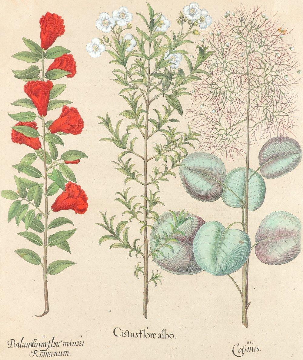 After Basilius Besler Poma flore multiplici; Aquilegia stellata flore vio laceo; Cytisus - Image 10 of 36