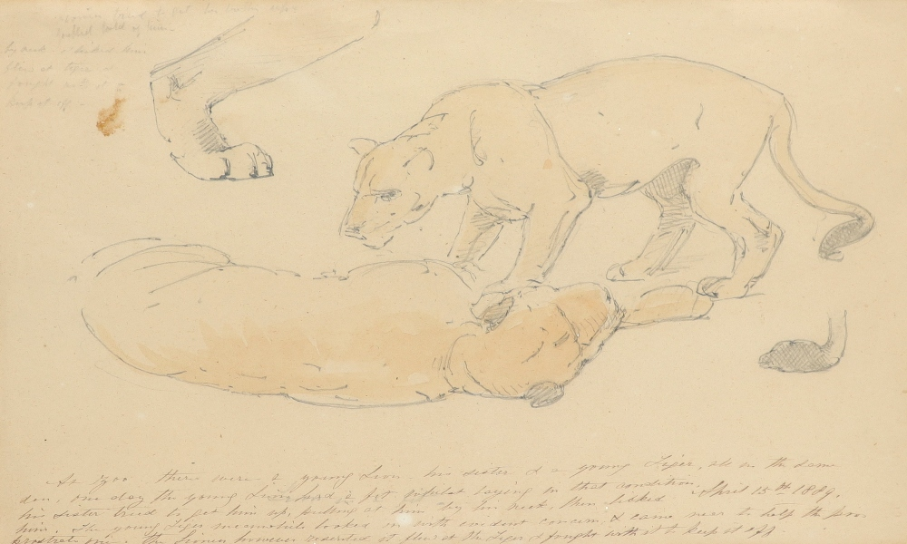 William Strutt RBA (1825-1915) Study of two lionesses; Lioness and lion; Study of two recumbent
