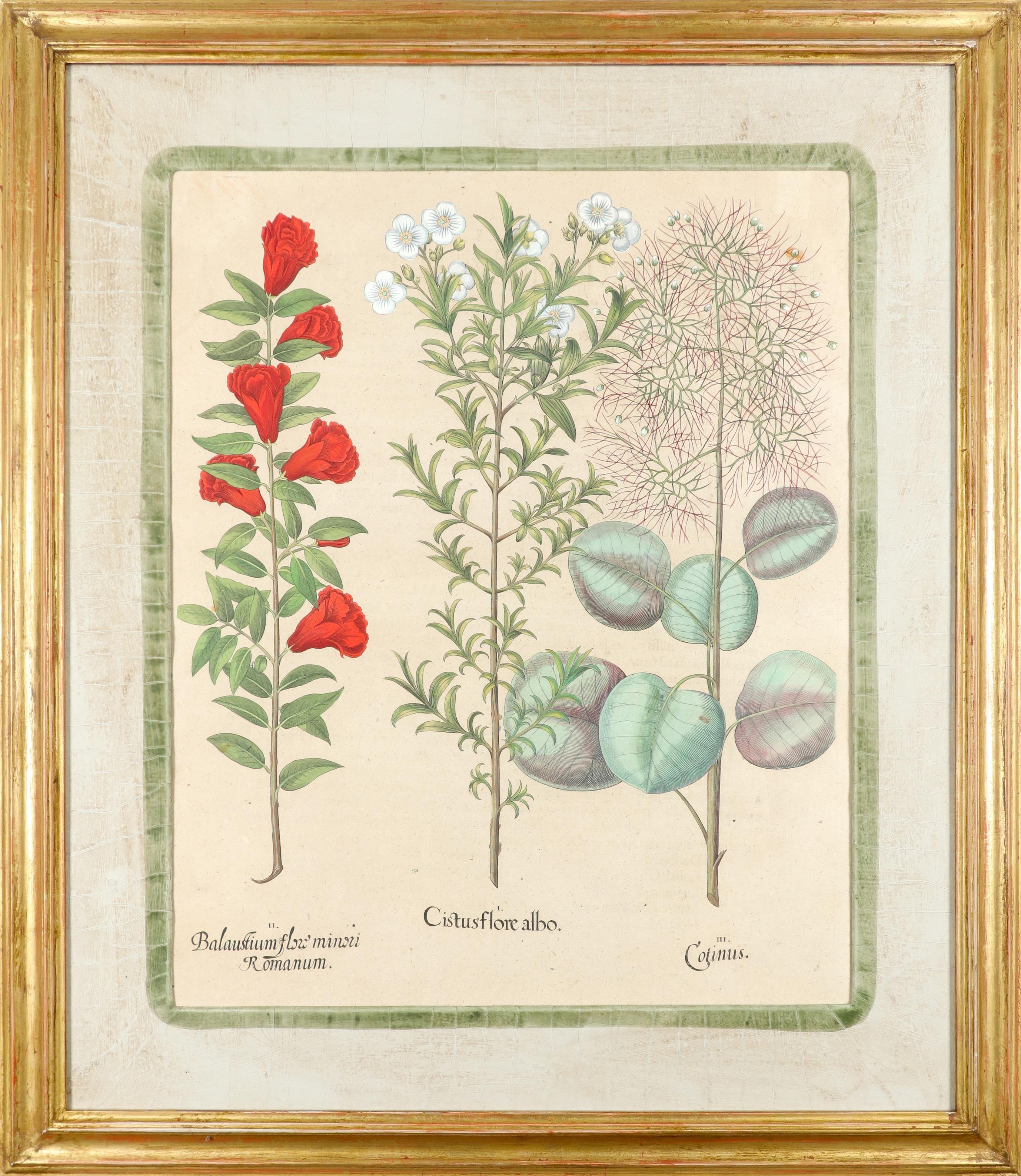 After Basilius Besler Poma flore multiplici; Aquilegia stellata flore vio laceo; Cytisus - Image 11 of 36