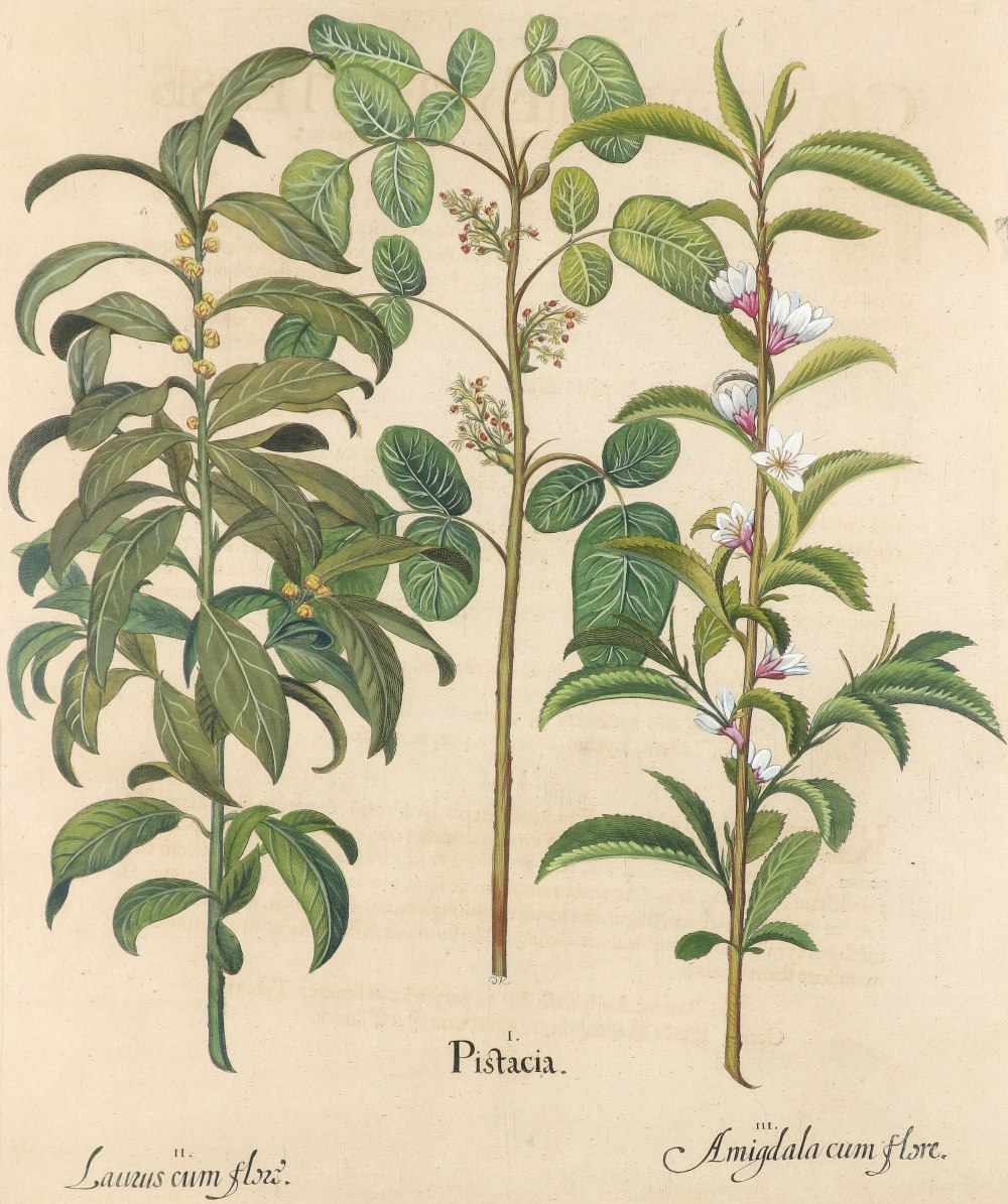 After Basilius Besler Poma flore multiplici; Aquilegia stellata flore vio laceo; Cytisus - Image 31 of 36