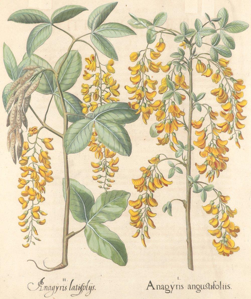 After Basilius Besler Poma flore multiplici; Aquilegia stellata flore vio laceo; Cytisus - Image 25 of 36