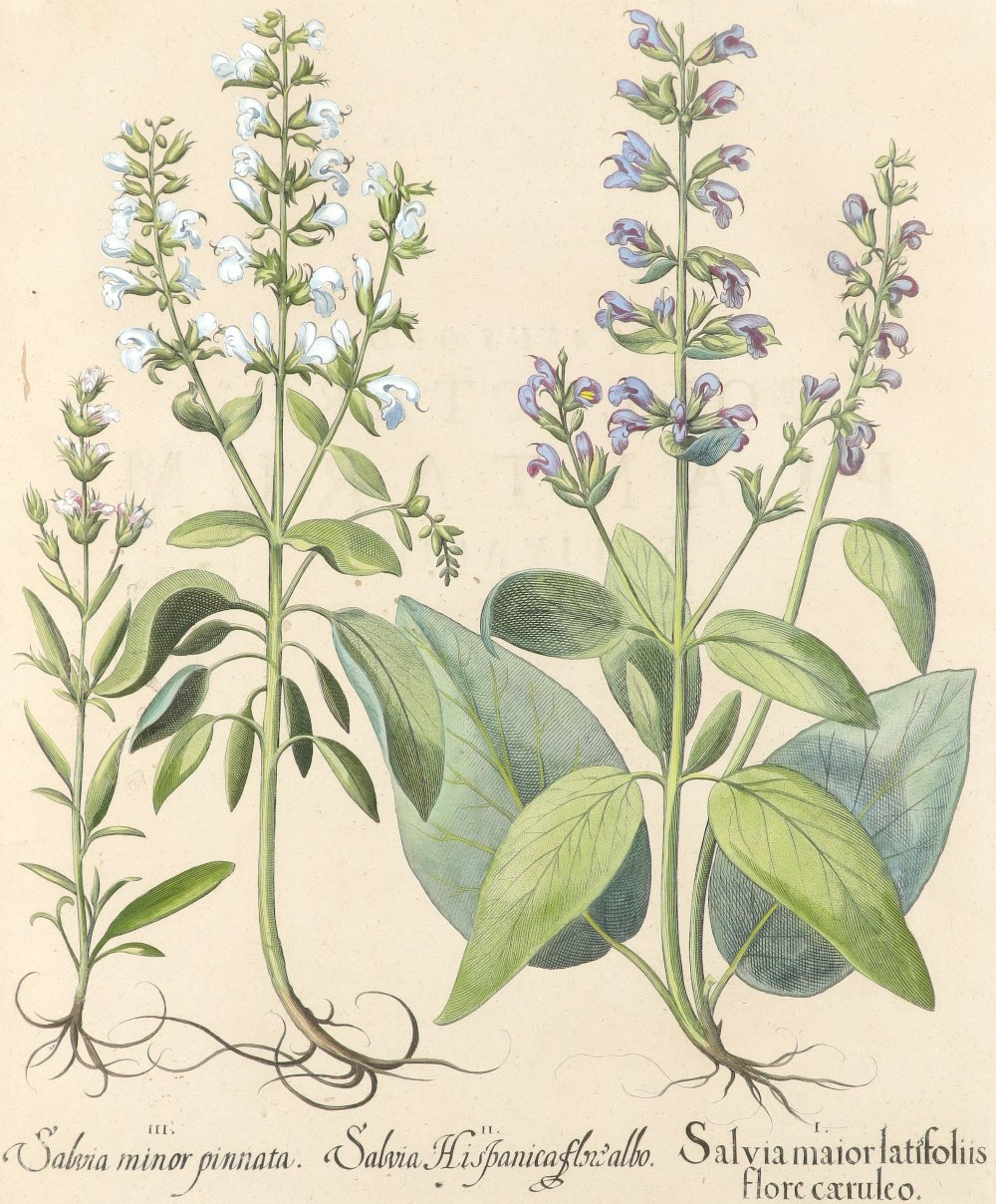 After Basilius Besler Poma flore multiplici; Aquilegia stellata flore vio laceo; Cytisus - Image 28 of 36