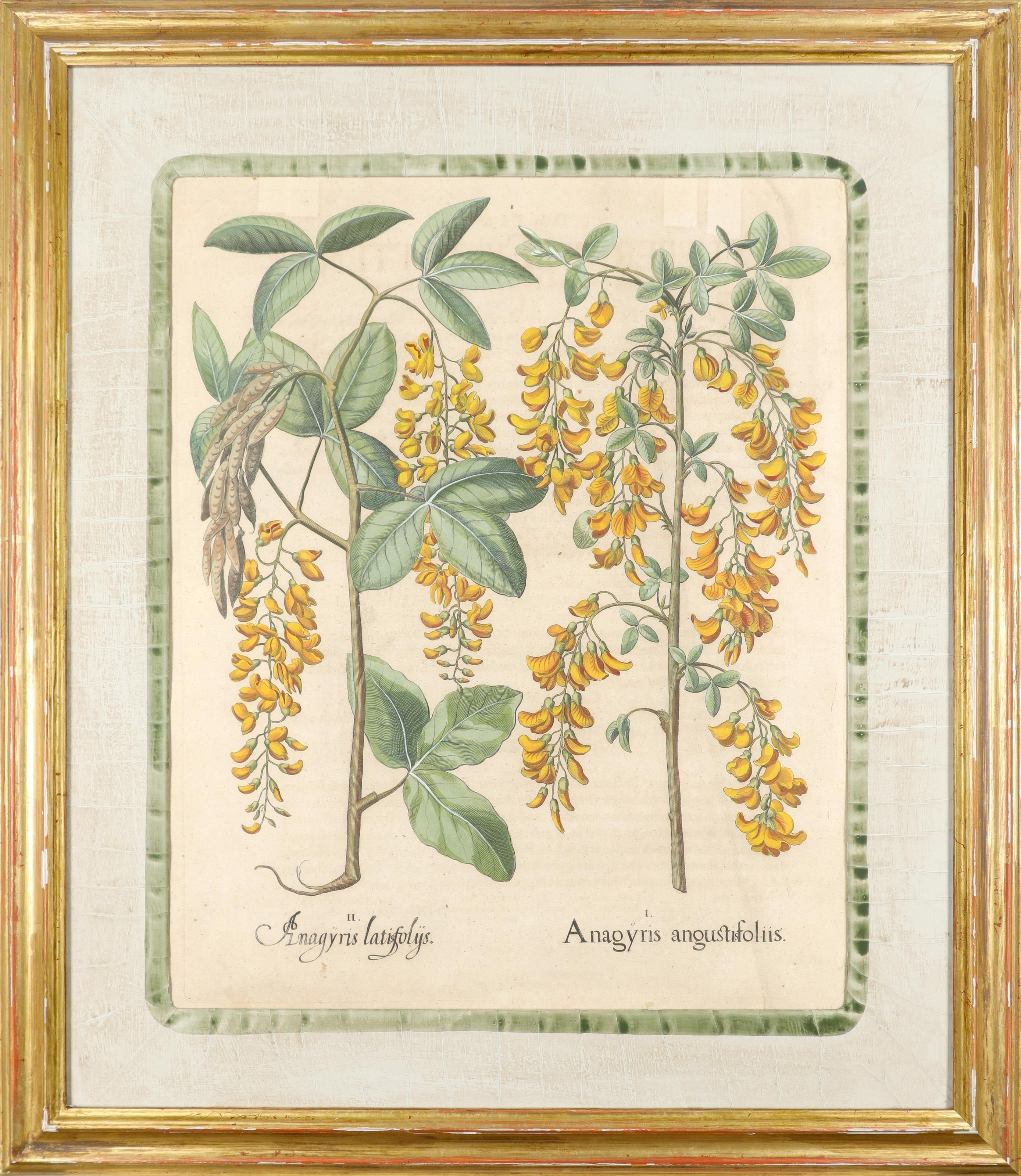 After Basilius Besler Poma flore multiplici; Aquilegia stellata flore vio laceo; Cytisus - Image 26 of 36