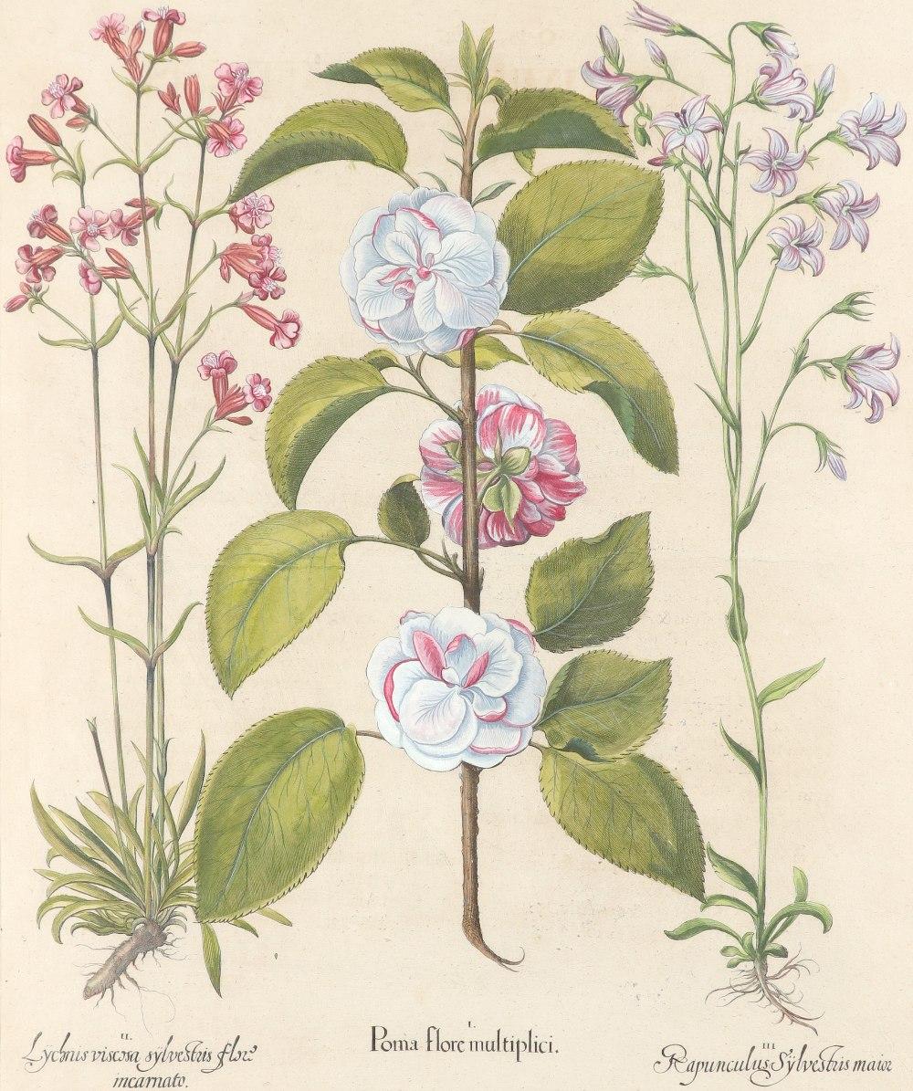 After Basilius Besler Poma flore multiplici; Aquilegia stellata flore vio laceo; Cytisus