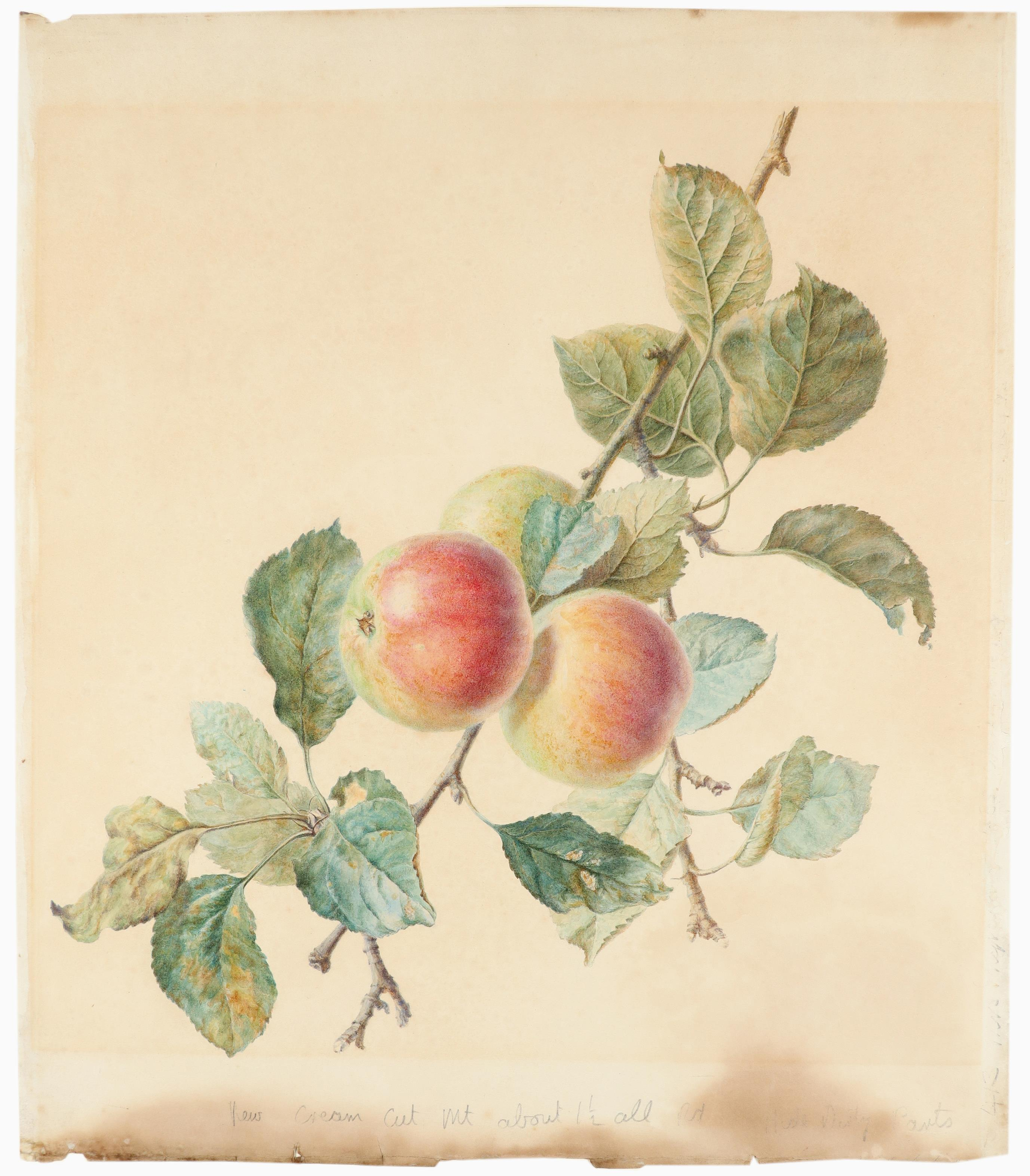 Attributed to James Sillett (1764-1840) Study of apples Watercolour 48 x 42.4cm; 19 x 17¾in Unframed - Image 2 of 3