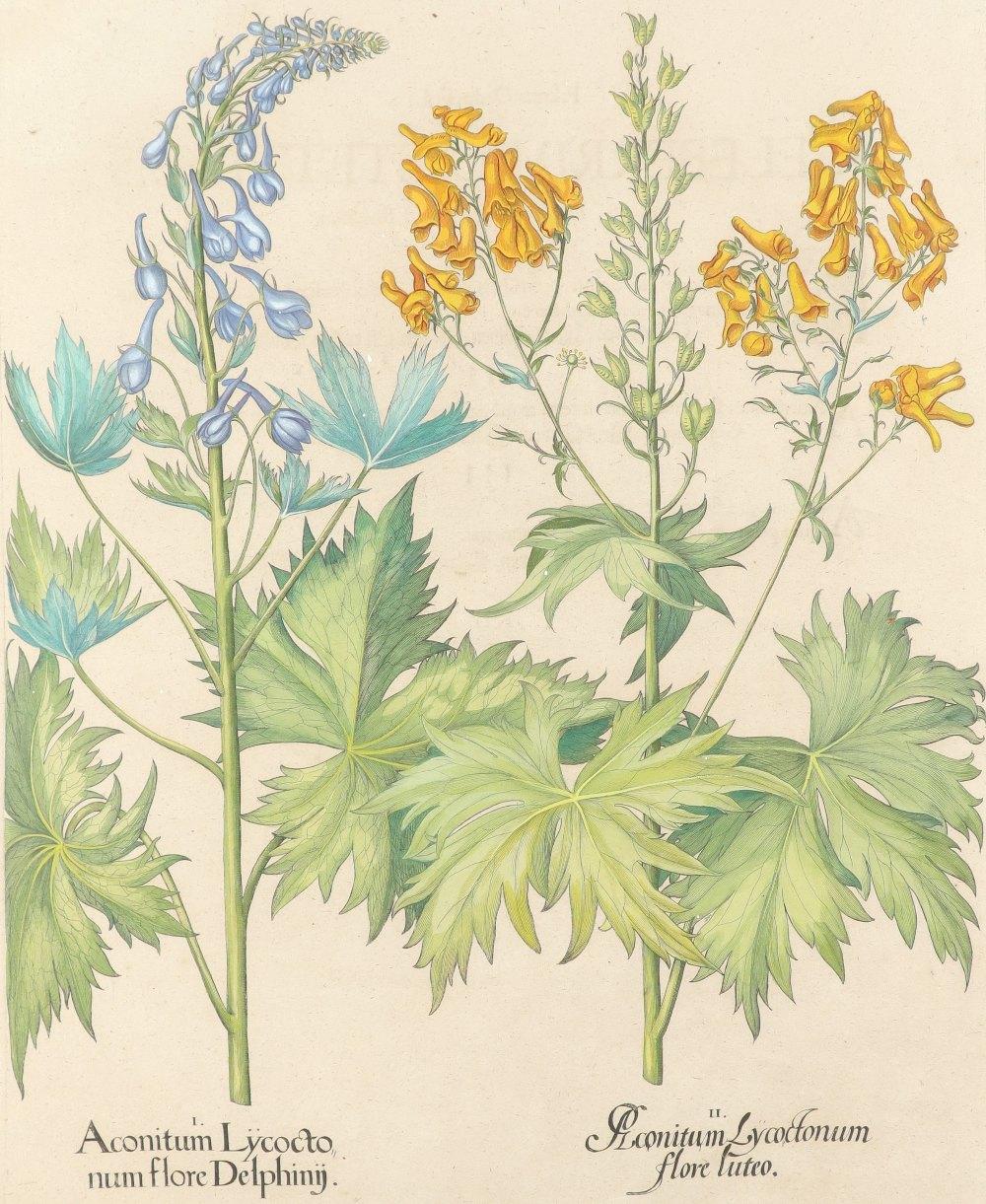 After Basilius Besler Poma flore multiplici; Aquilegia stellata flore vio laceo; Cytisus - Image 19 of 36