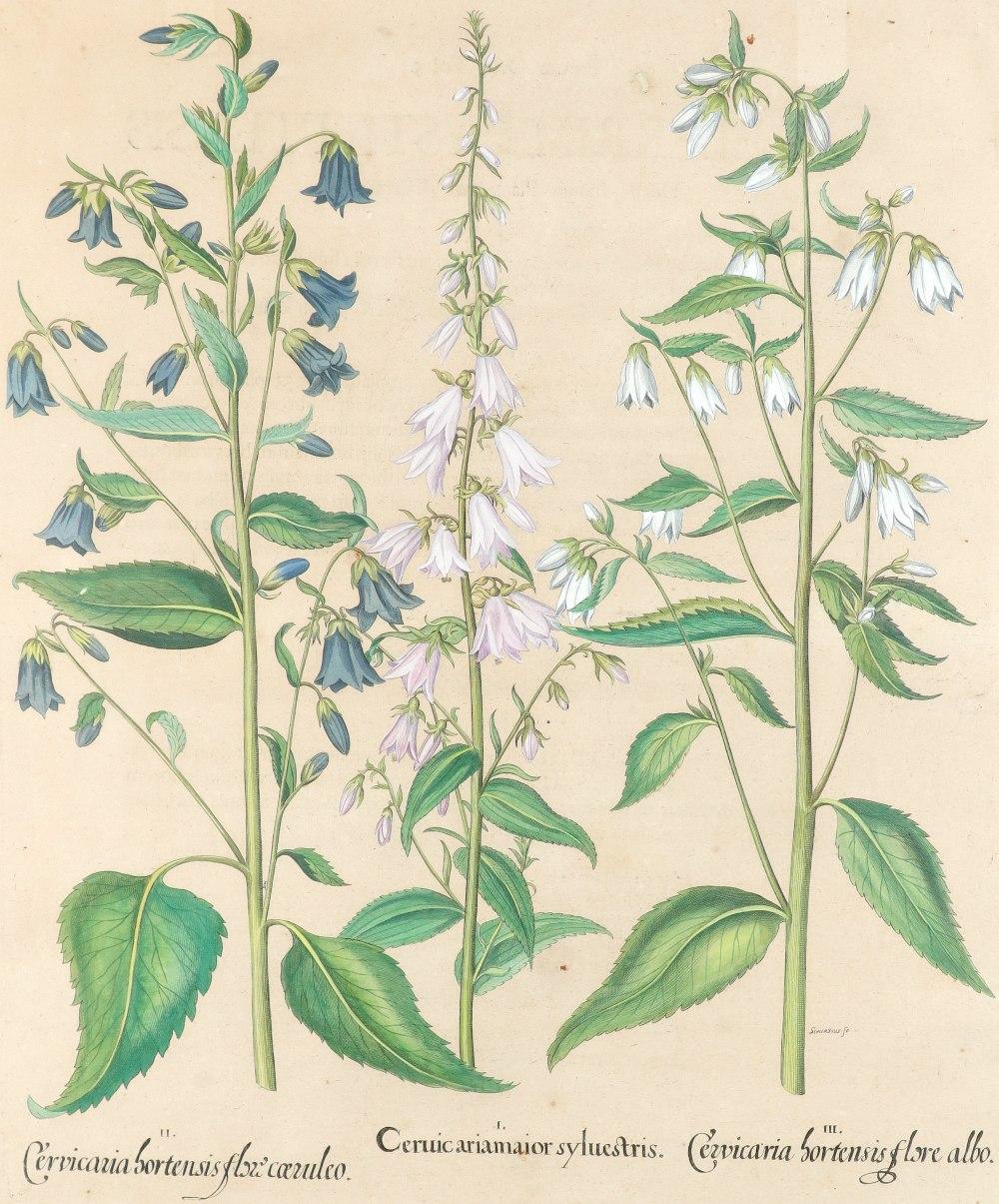 After Basilius Besler Poma flore multiplici; Aquilegia stellata flore vio laceo; Cytisus - Image 22 of 36