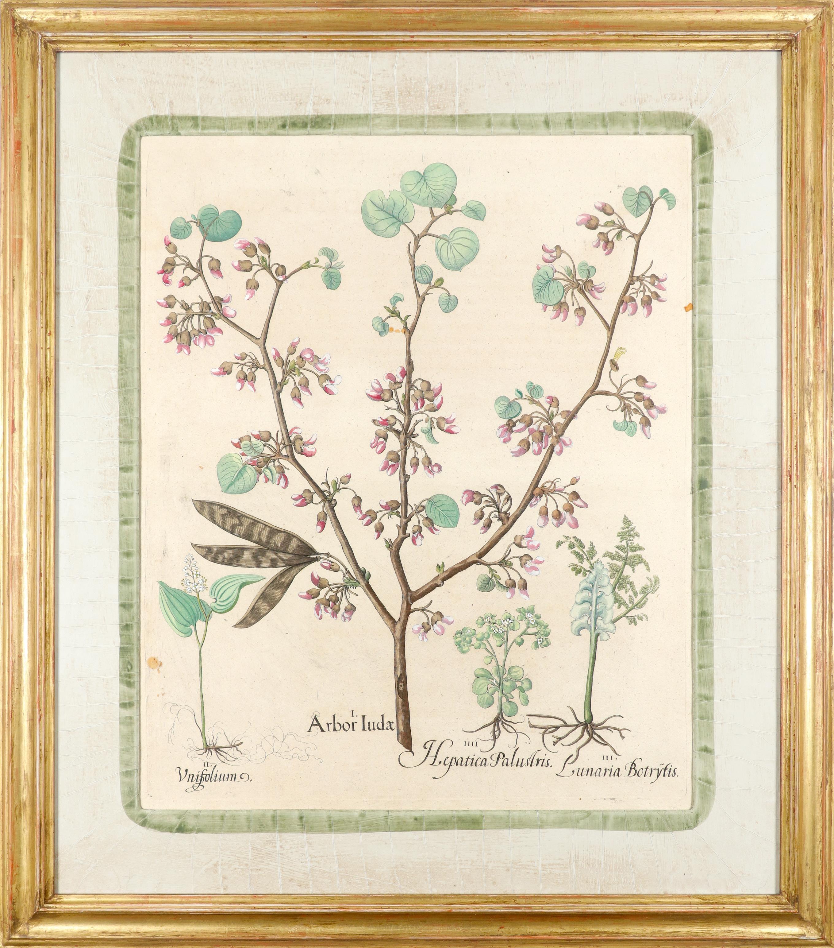 After Basilius Besler Poma flore multiplici; Aquilegia stellata flore vio laceo; Cytisus - Image 14 of 36