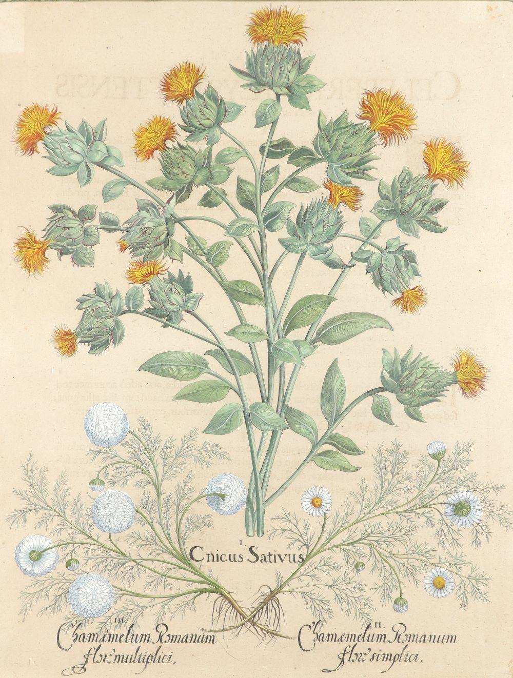 After Basilius Besler Poma flore multiplici; Aquilegia stellata flore vio laceo; Cytisus - Image 16 of 36