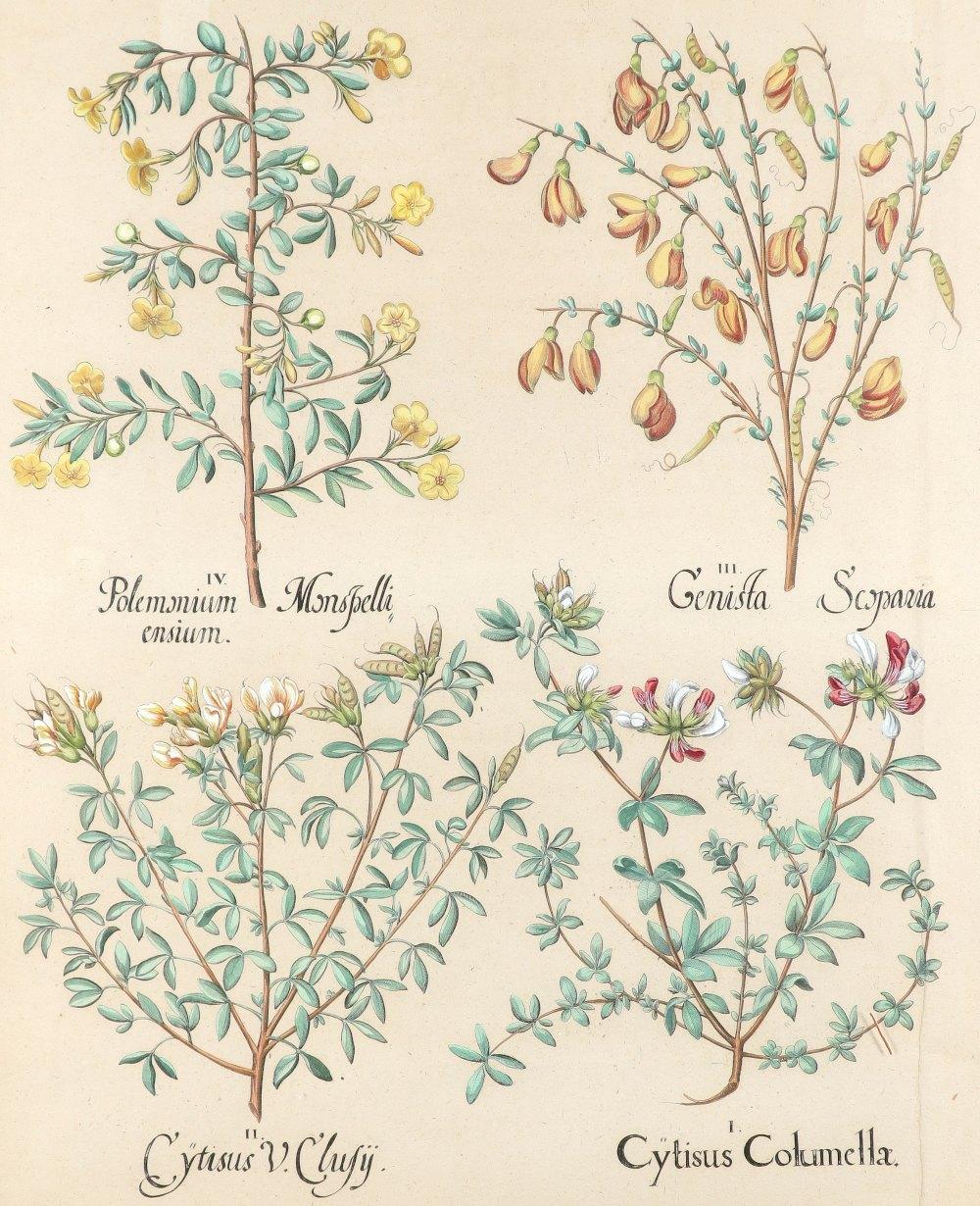 After Basilius Besler Poma flore multiplici; Aquilegia stellata flore vio laceo; Cytisus - Image 7 of 36