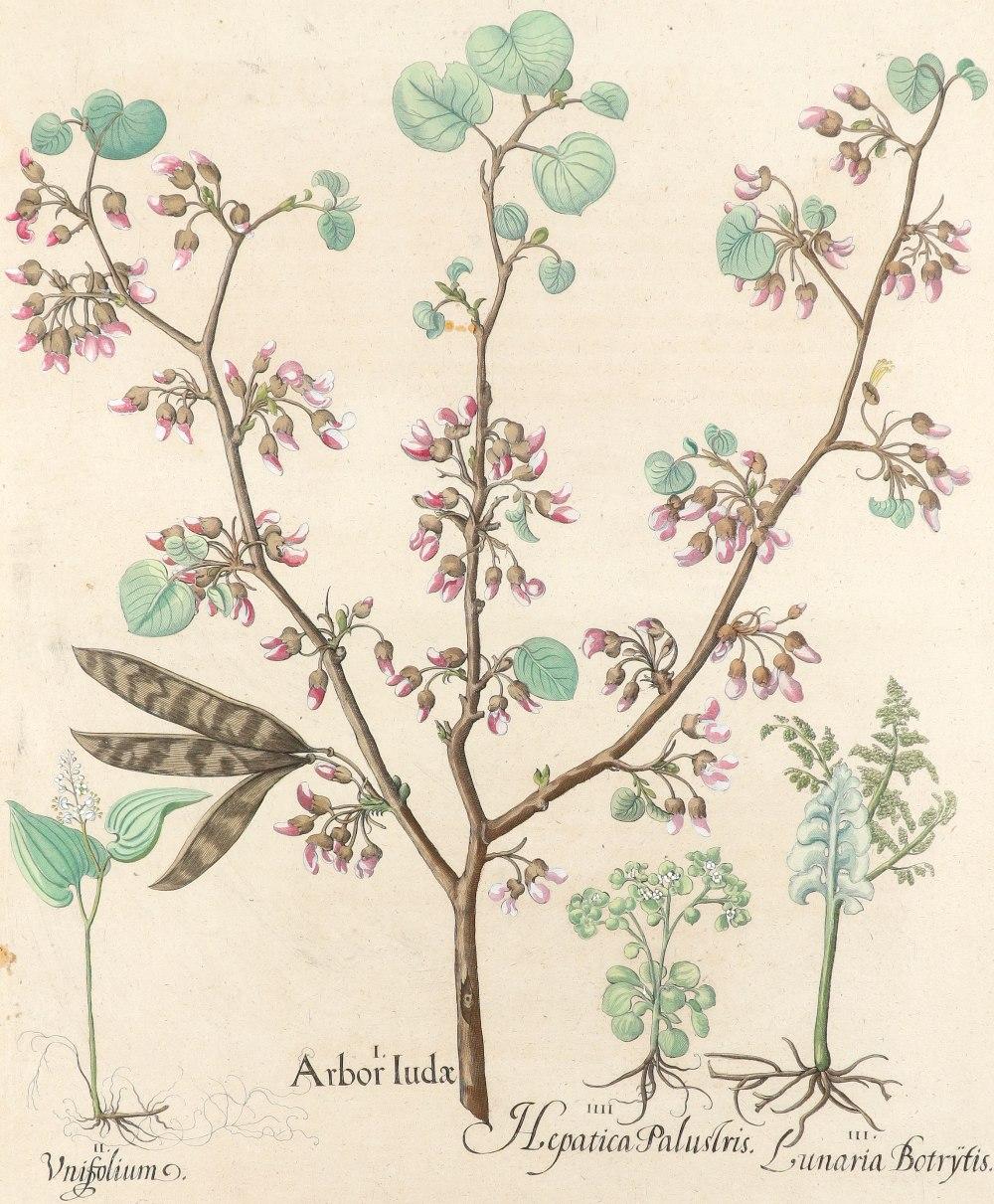 After Basilius Besler Poma flore multiplici; Aquilegia stellata flore vio laceo; Cytisus - Image 13 of 36