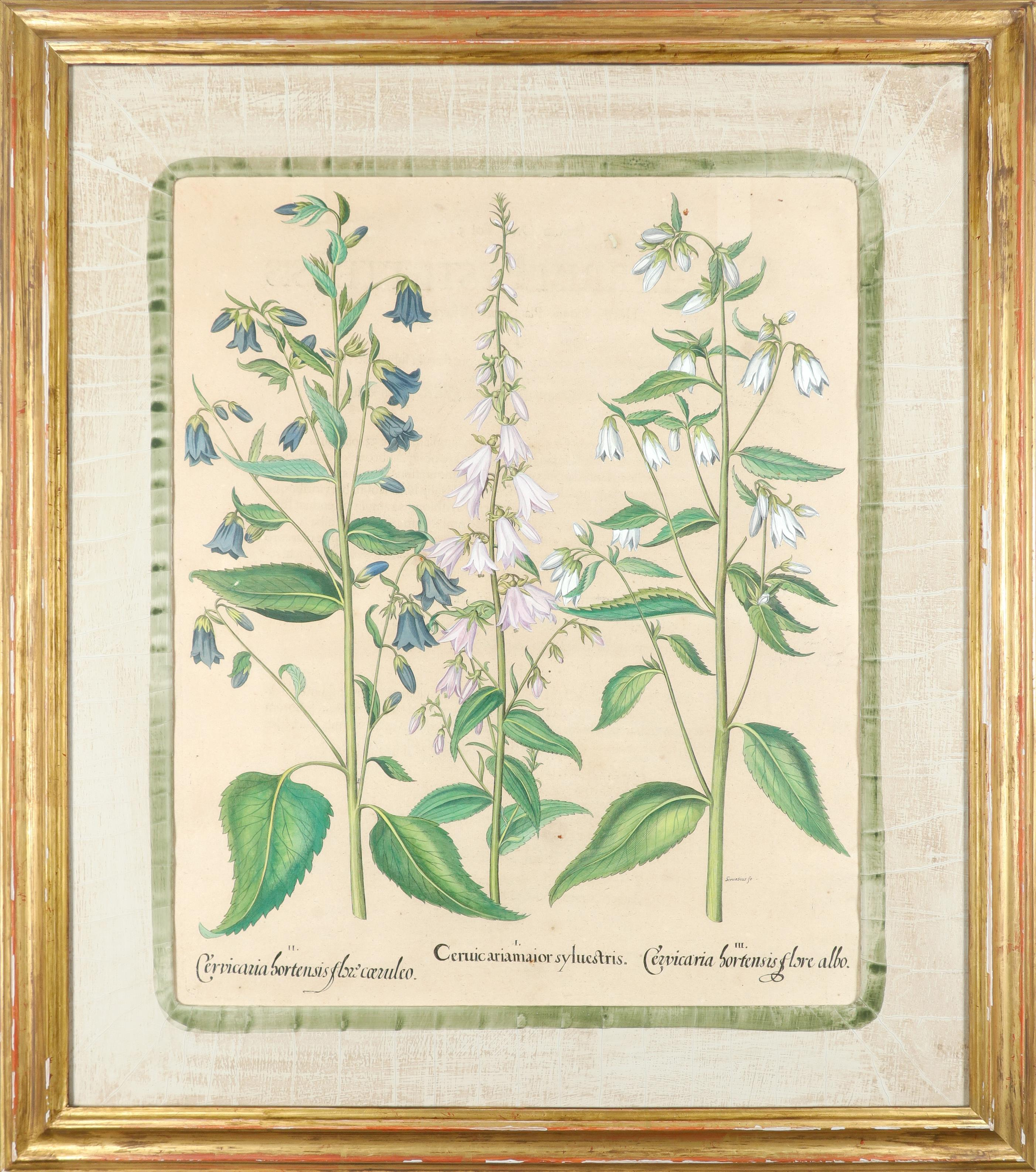 After Basilius Besler Poma flore multiplici; Aquilegia stellata flore vio laceo; Cytisus - Image 23 of 36
