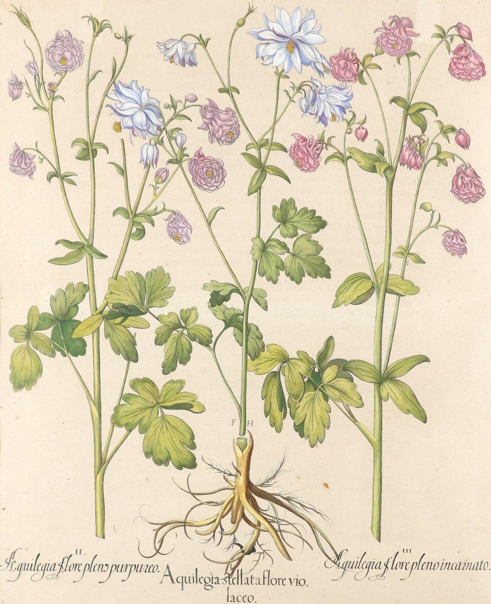 After Basilius Besler Poma flore multiplici; Aquilegia stellata flore vio laceo; Cytisus - Image 4 of 36