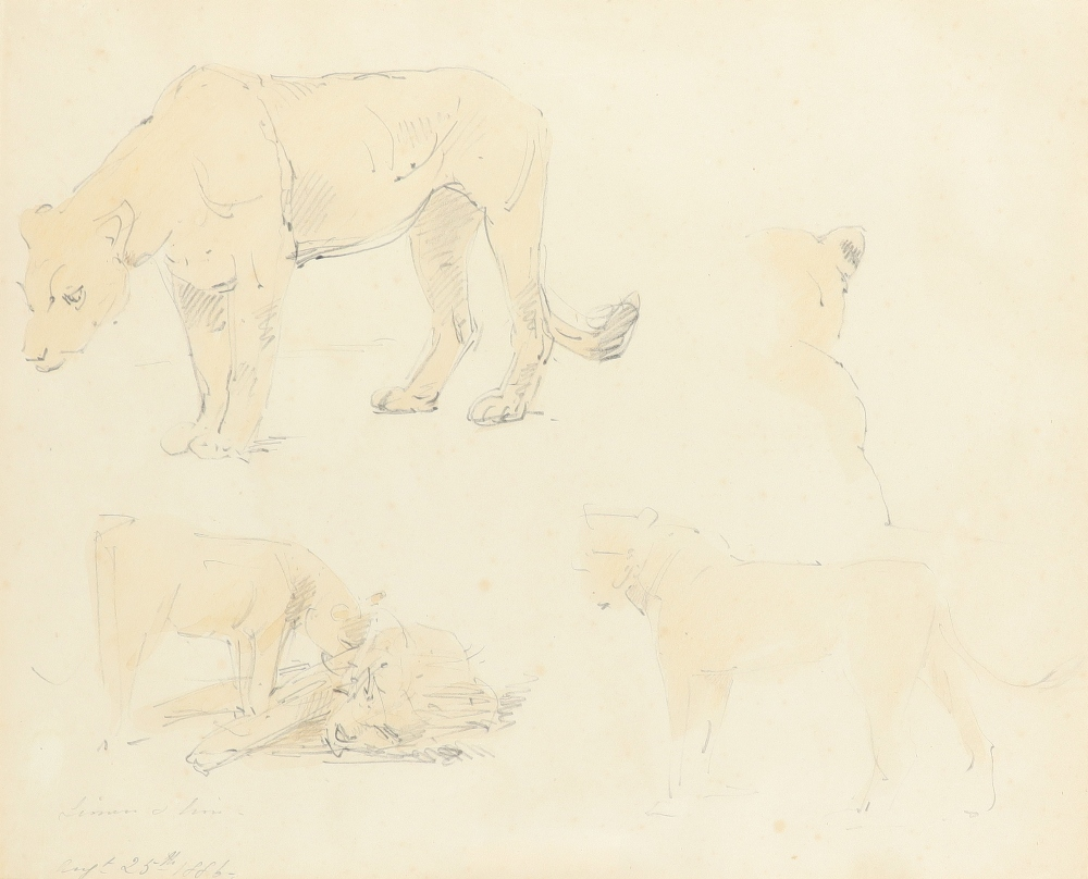 William Strutt RBA (1825-1915) Study of two lionesses; Lioness and lion; Study of two recumbent - Image 4 of 9