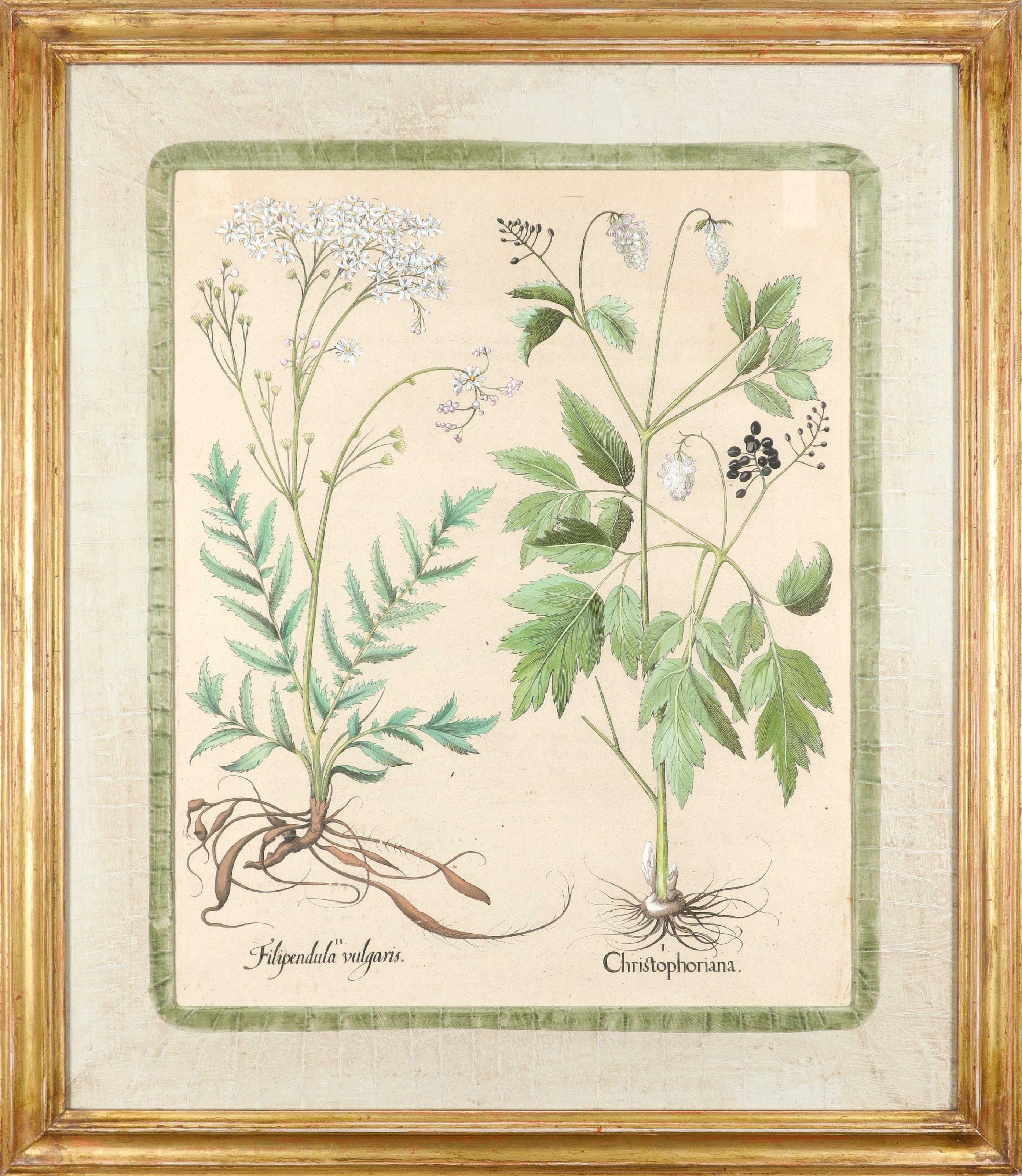 After Basilius Besler Poma flore multiplici; Aquilegia stellata flore vio laceo; Cytisus - Image 35 of 36