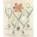 After Basilius Besler Study of five tulips Engraving with hand-colouring, plate 70 from 'Hortus