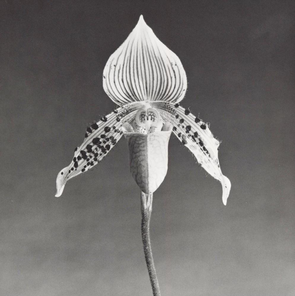 ROBERT MAPPLETHORPE - Orchid - Original vintage photogravure